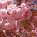 Ett av våra blommande träd. © 2012 Maria Carlsson - All rights reserved